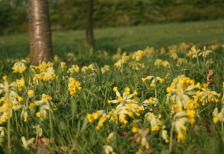 Evening light on cowslips in Millennium Green